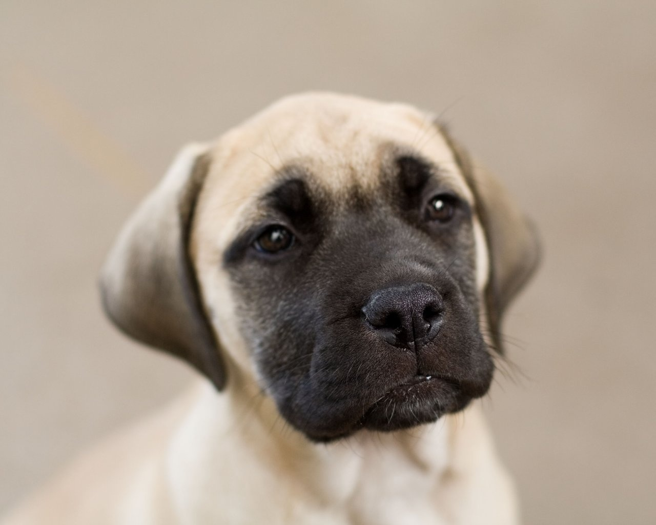 English Mastiff puppy wallpaper