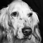 English Setter dog face