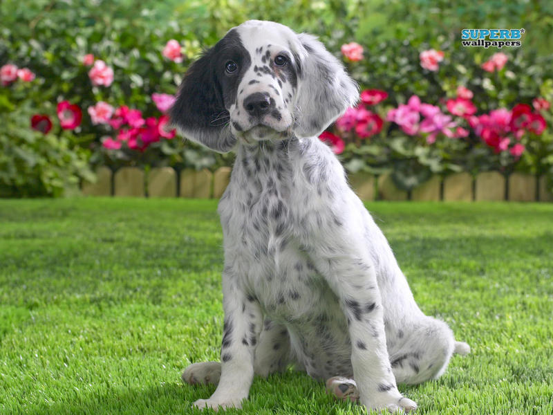 English Setter dog in flowers wallpaper