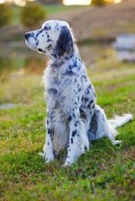 English Setter dog on the grass
