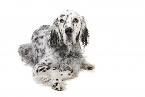 English Setter dog portrait wallpaper