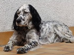 English Setter dog rest on the floor