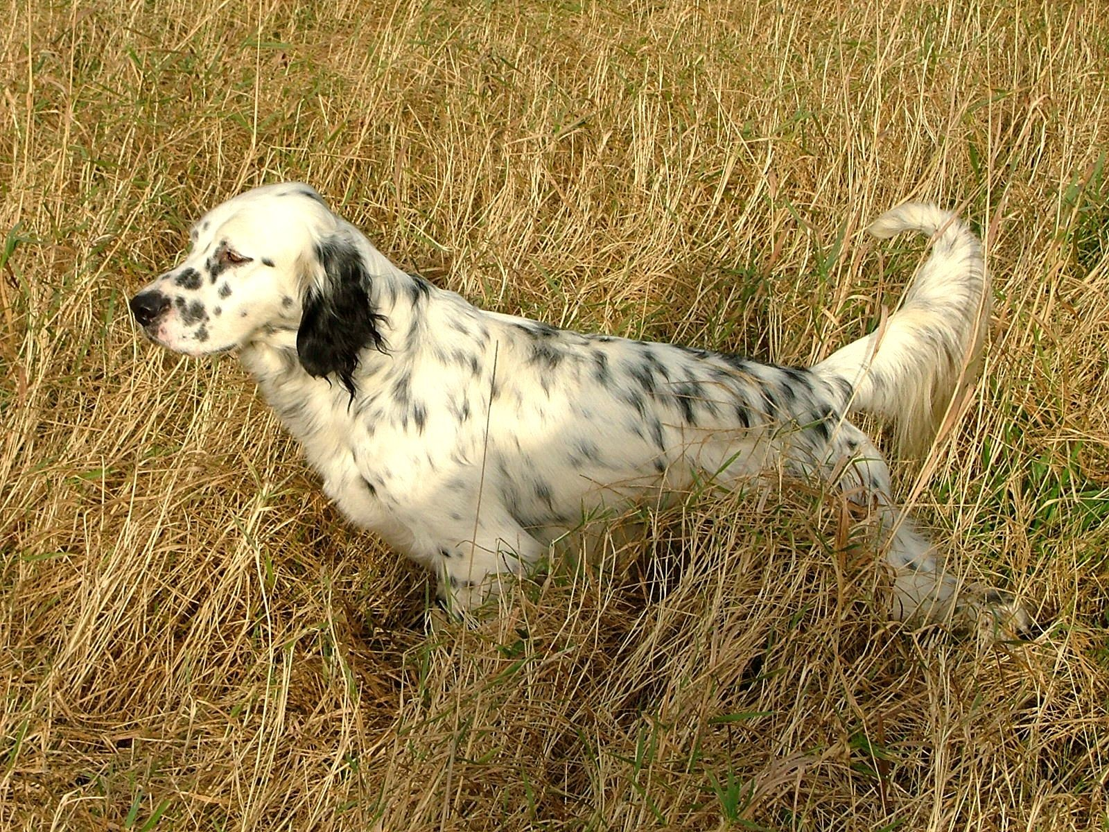 English Setter in the field wallpaper