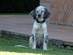 English Setter on the lawn