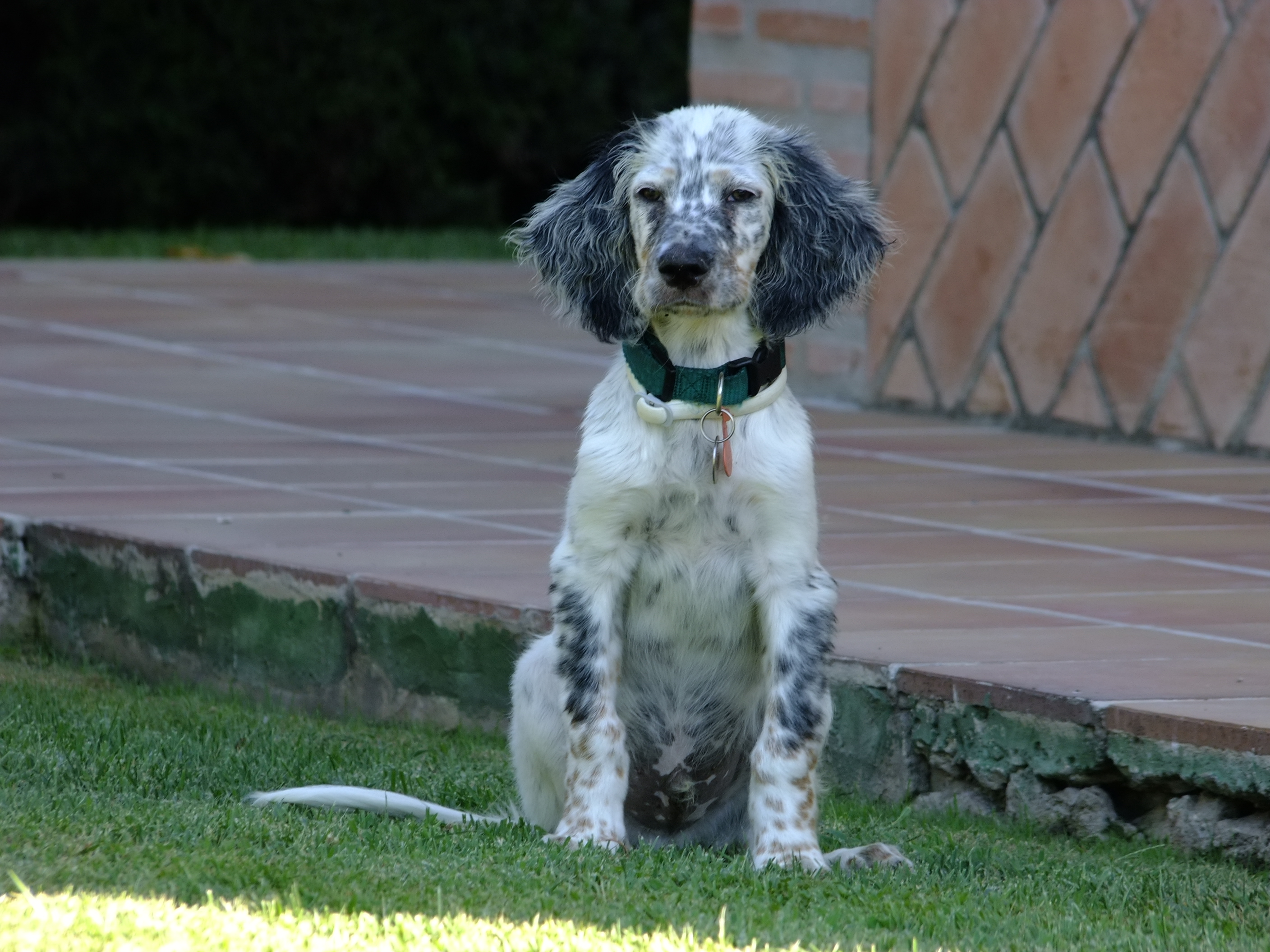 English Setter on the lawn wallpaper