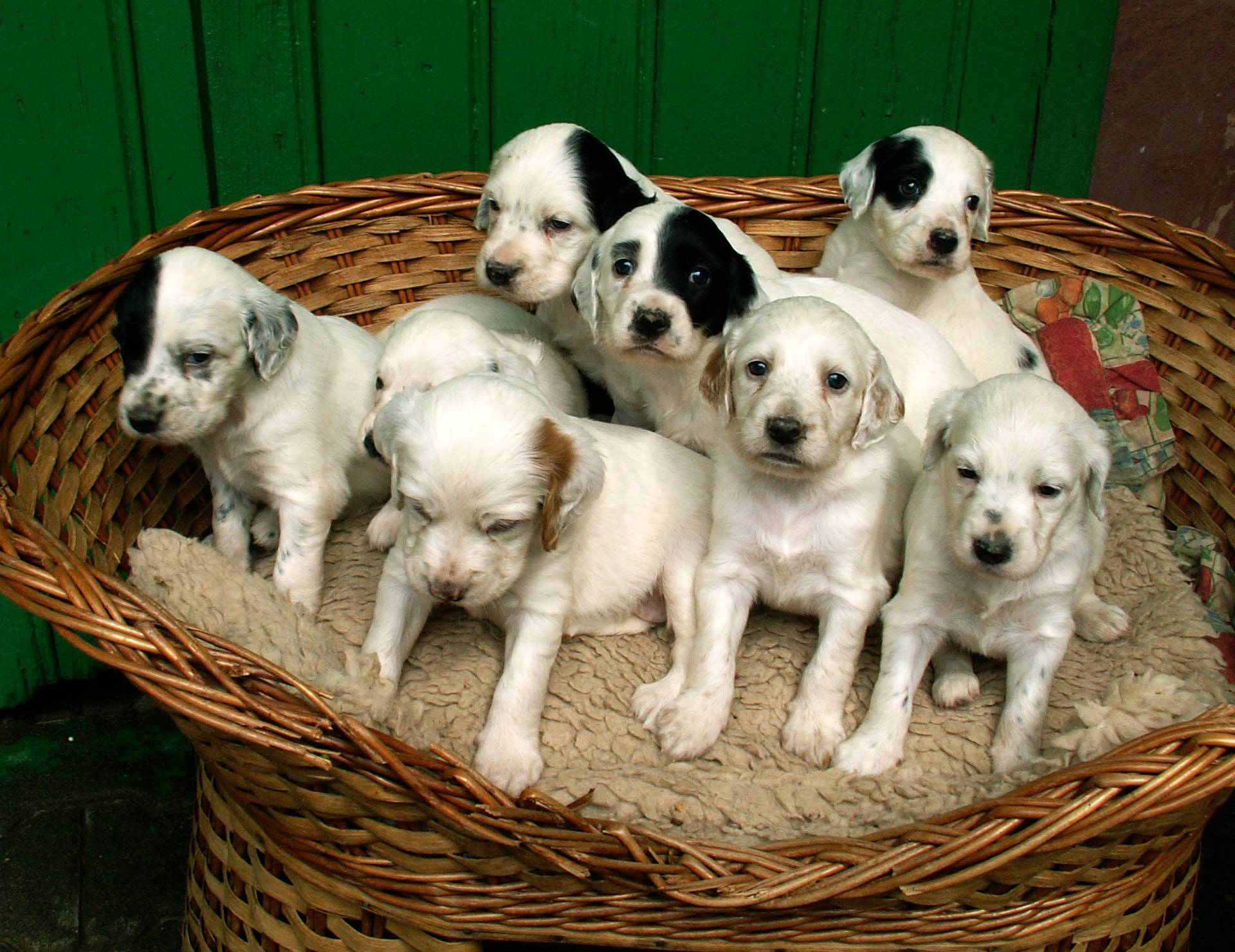 English Setter puppies in the basket wallpaper