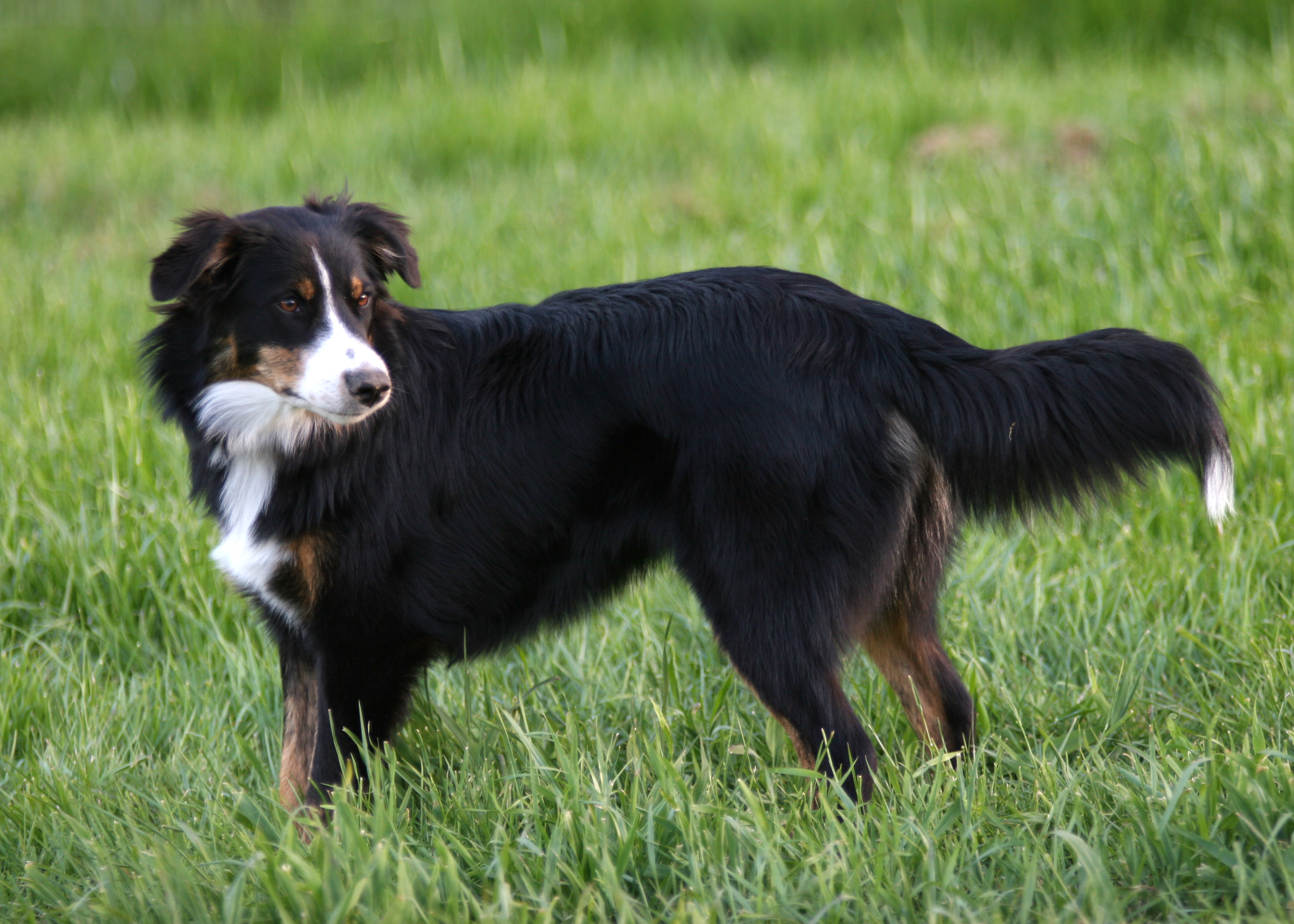 English Shepherd dog in the field photo and wallpaper ...