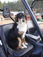 English Shepherd dog on the chair