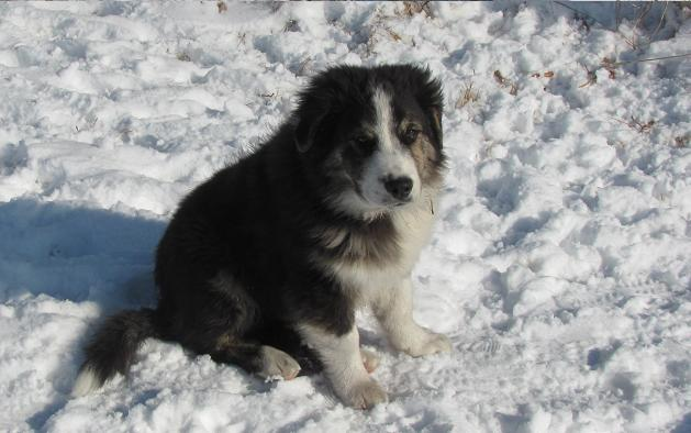 English Shepherd dog on the snow wallpaper