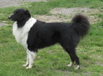 English Shepherd dog side view