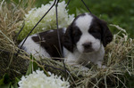 English Shepherd puppy in flowers