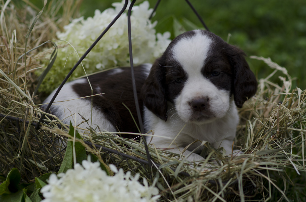 English Shepherd puppy in flowers wallpaper