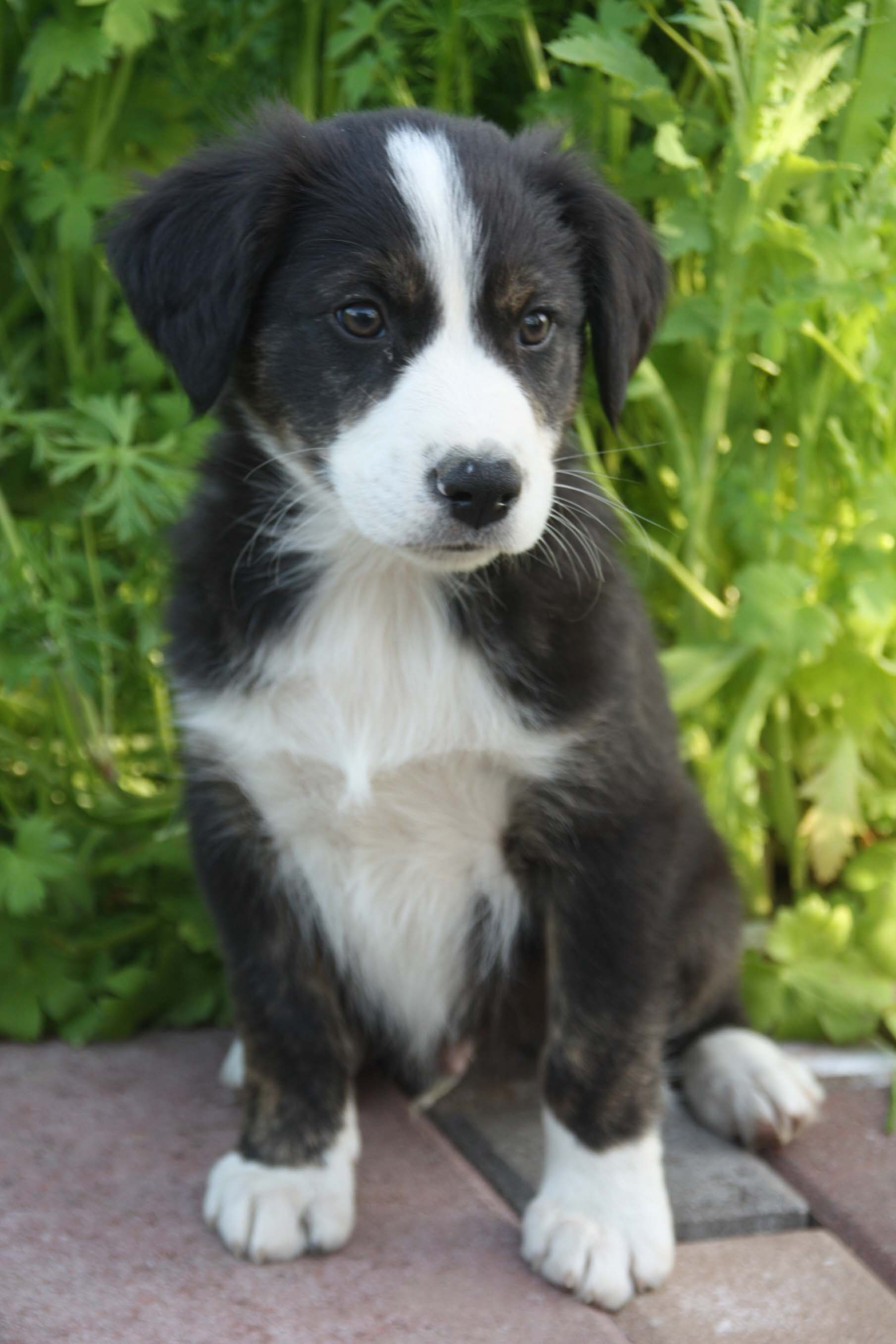 English Shepherd puppy wallpaper