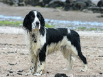 English Springer Spaniel puppy on the beach