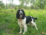 English Springer Spaniel dog in the forest