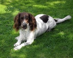English Springer Spaniel dog looking at you