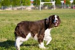 English Springer Spaniel on a walk