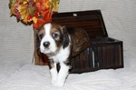 English Springer Spaniel puppy in a box