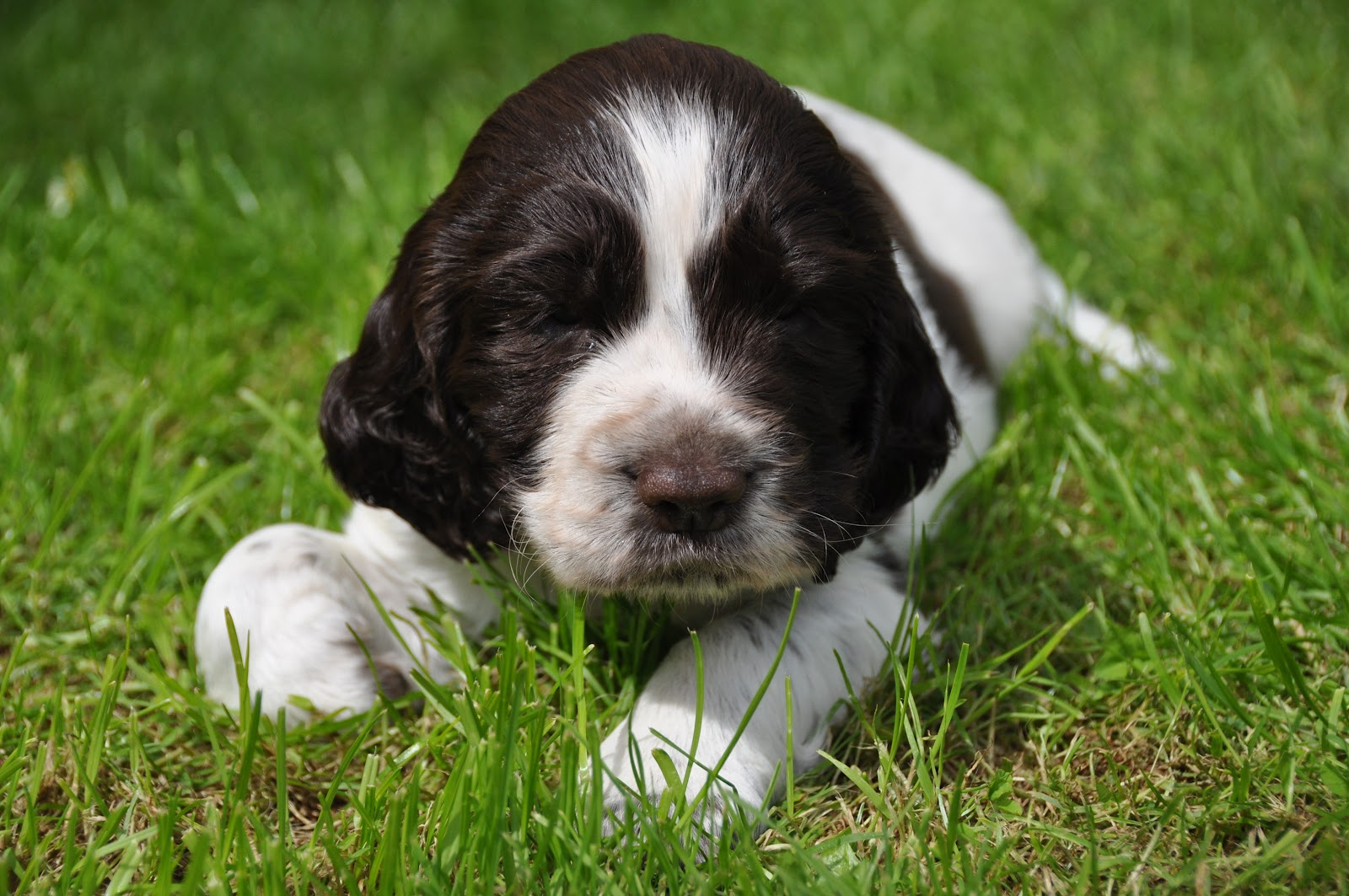 Add photos English Springer Spaniel puppy on the grass in your blog: