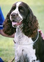 English Springer Spaniel with the owner