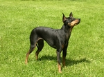 English Toy Terrier(Black Tan) dog on the grass