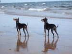 English Toy Terrier(Black Tan) dogs by the sea