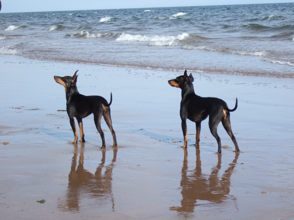 English Toy Terrier(Black Tan) dogs by the sea wallpaper