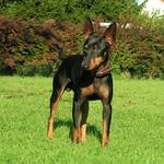 English Toy Terrier(Black Tan) near the bushes