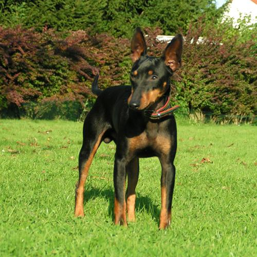 English Toy Terrier(Black Tan) near the bushes wallpaper
