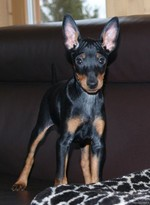 English Toy Terrier(Black Tan) on couch