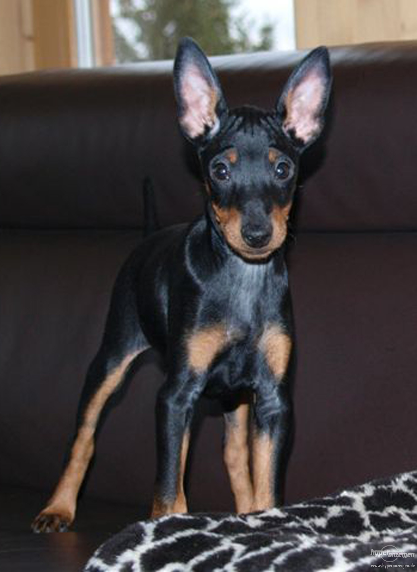 English Toy Terrier(Black Tan) on couch wallpaper