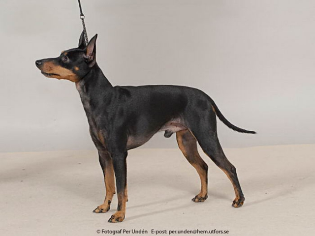 English Toy Terrier(Black Tan) side view wallpaper