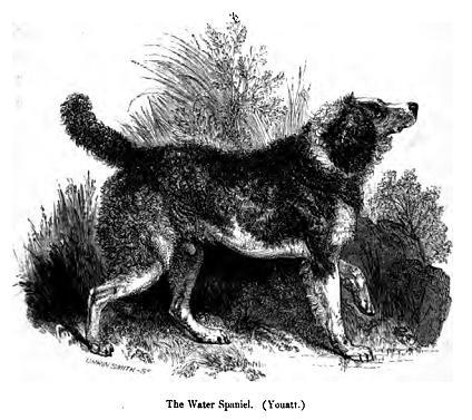 English Water Spaniel dog wallpaper