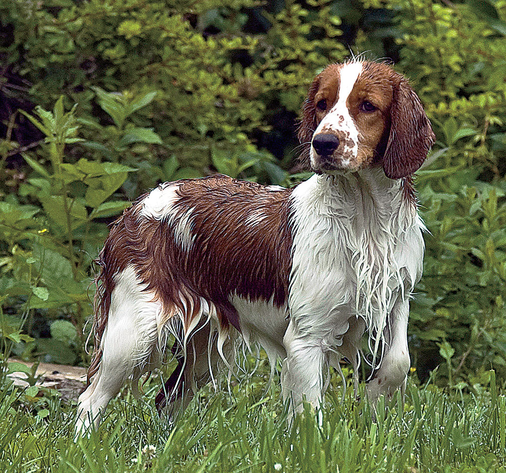 English Water Spaniel in the forest photo and wallpaper. Beautiful ... White Parson Russell Terrier