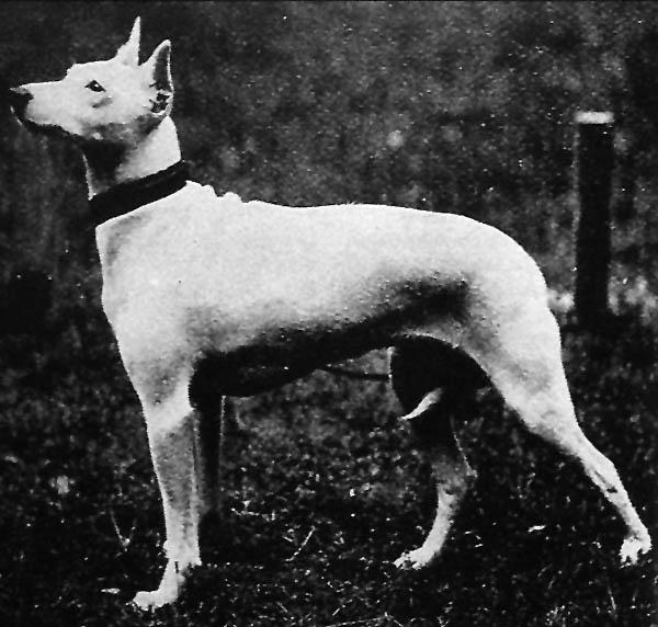 English White Terrier wallpaper