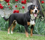 Entlebucher Mountain Dog near flowers