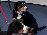 Entlebucher Mountain Dogs in the red collars