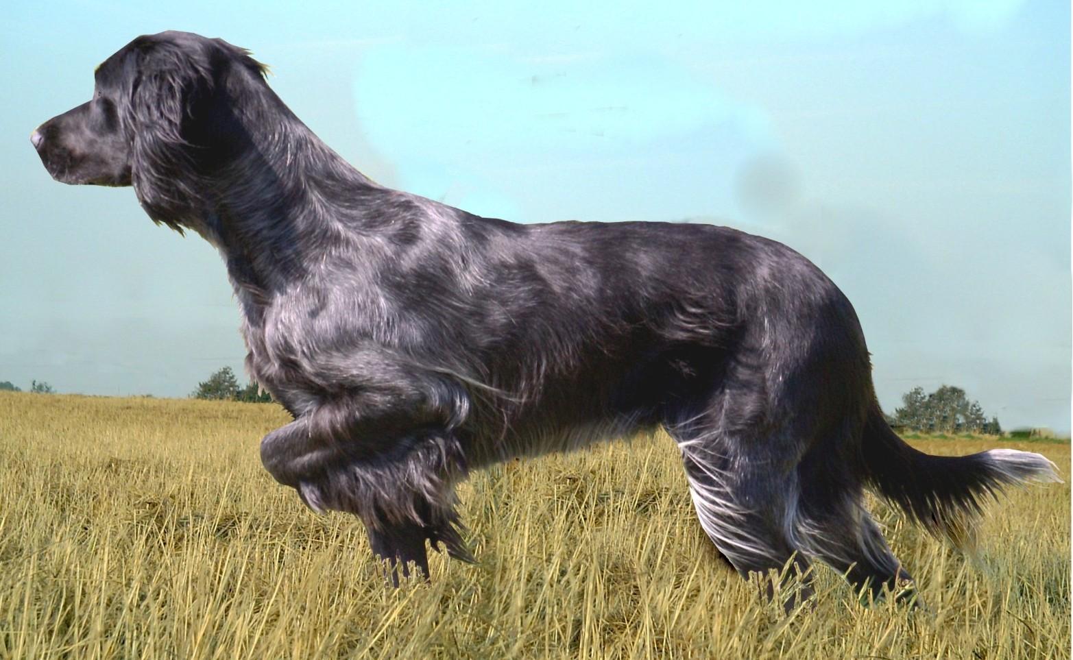 фото собаки породы голубой пикардийский спаниель