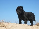 Epic Affenpinscher is looking forward