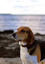 Estonian Hound dog by the water
