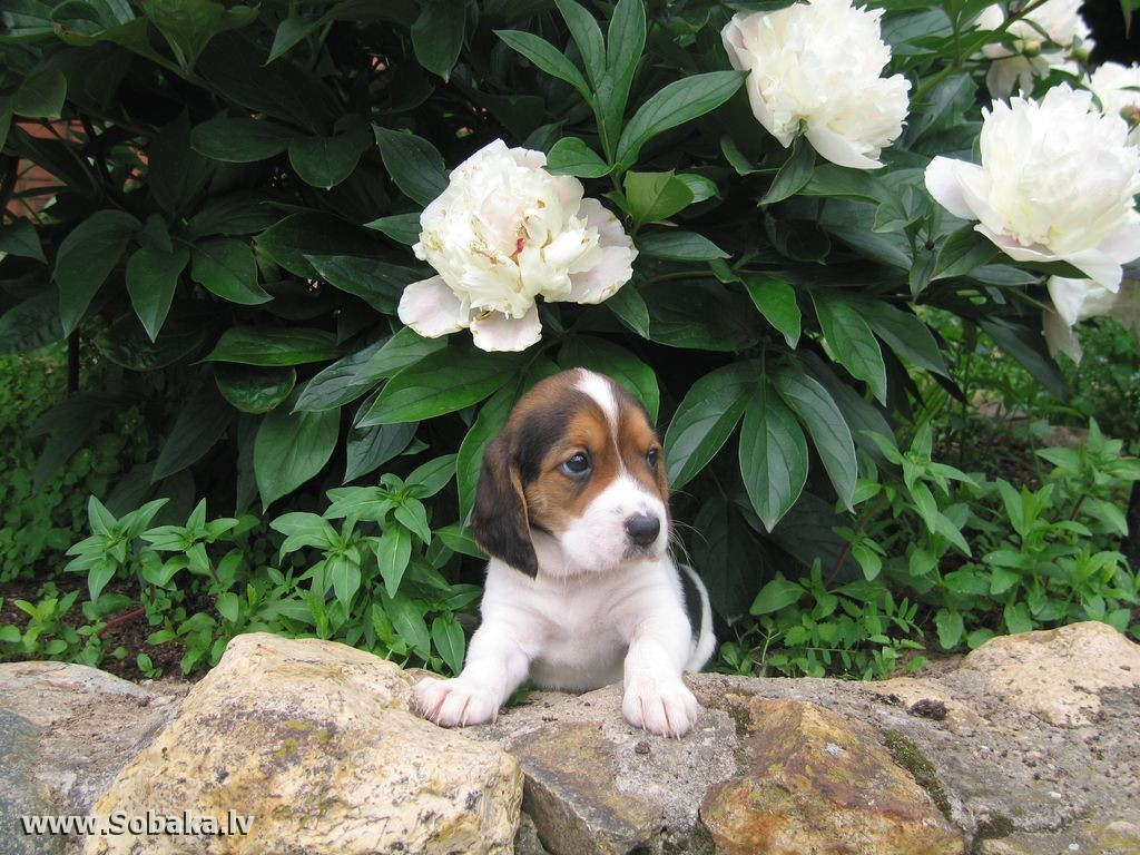 Estonian Hound puppy wallpaper