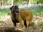 Estrela Mountain dog in the forest