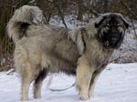 Estrela Mountain dog in the snow