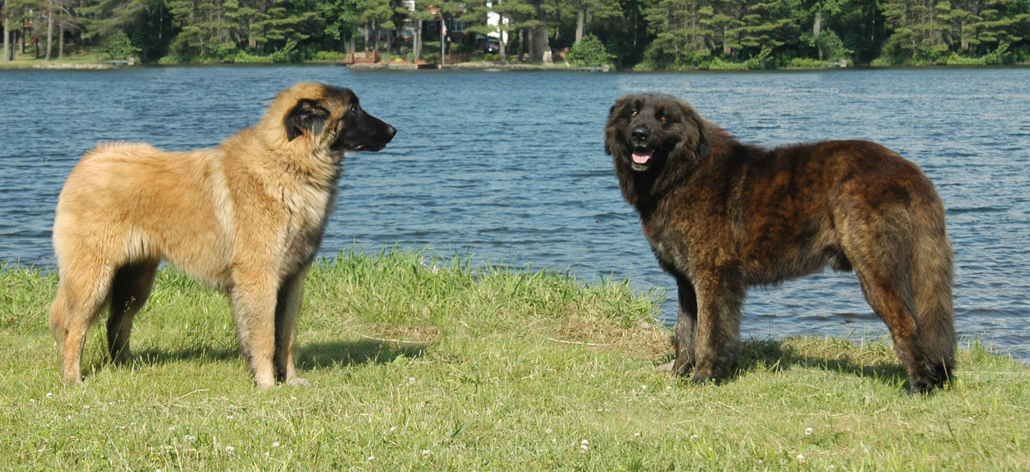 Estrela Mountain dogs near the water wallpaper