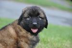 Estrela Mountain puppy