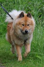 Eurasier dog for a walk
