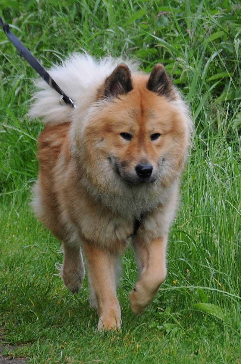 Собака евразиер на прогулке фото