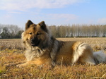 Eurasier dog in the field