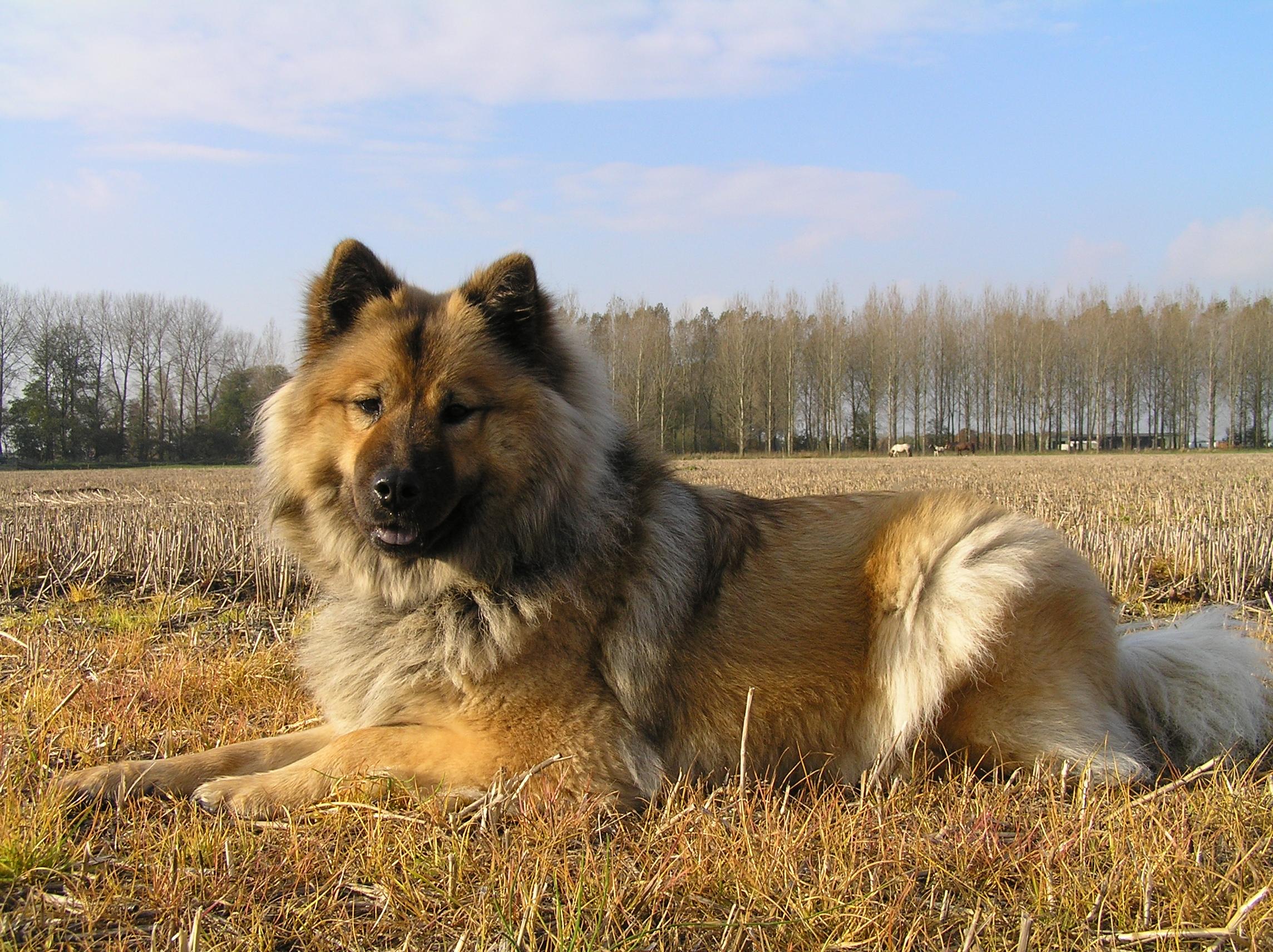 Eurasier dog in the field wallpaper