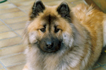 Eurasier dog looking at you